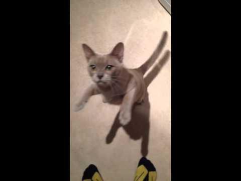 Winston the talking Burmese cat