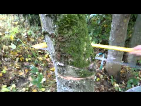 abattage d 39 un arbre a la scie youtube. Black Bedroom Furniture Sets. Home Design Ideas