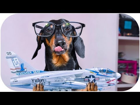 Everyone loves planes, right?! Funny dachshund dog video!