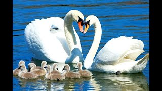 Природа. Лебеди. Уголок живой природы.2021. #Shorts