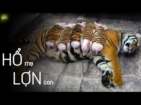 Con Hổ Mẹ Này Nhận Nuôi Một Đàn Lợn Con, Và Thật Sự Coi Chúng Như Con Của Mình !