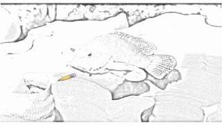 Auto Draw 2: Coral Cod, Elephant Ear Sponge, Solomon Islands
