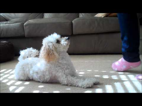 Miniature Poodle Tricks #3