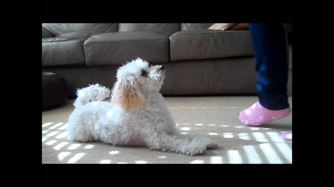 Miniature Poodle Vs Toy Poodle Breed Comparison
