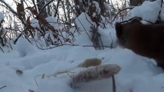 Pine Marten Eats Snowshoe Hare - Alberta