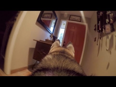 Download Youtube: What Does My Husky Do When Home Alone? *GoPro Spy Footage*