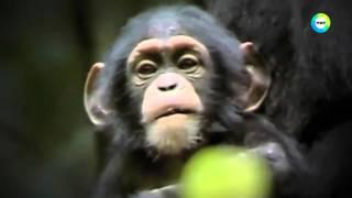 Опыты по скрещиванию человека с обезьяной
