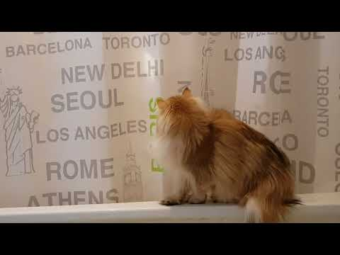CAT BLOOPER   Smoothie Falls In Bathtub