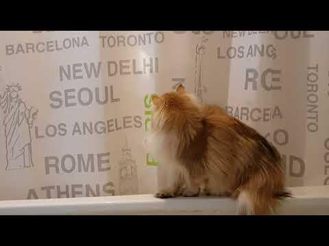CAT BLOOPER   Smoothie Falls In Bathtub