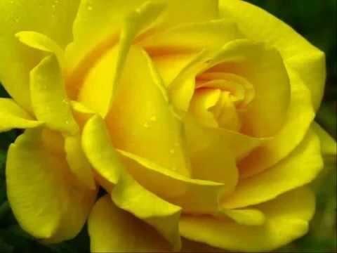 Que Significa La Rosa Amarilla Youtube