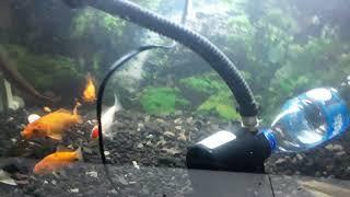 cara mudah bersihkan pasir di aquarium tanpa angkat pasir dan ikany