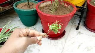 हैंगिंग बास्केट का सुंदर पौधा,Spider Plant,Plant For Hanging Basket,anveshas creativity