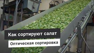 Оптическая сортировка бэби лиф салатов