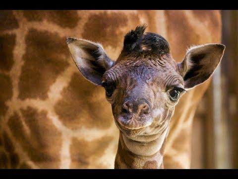 c48c90af8 Baby Giraffe 2018 - SANTA BARBARA ZOO - YouTube