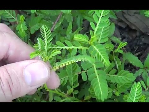 Find A Contractor >> Chamberbitter Mimosa weed Phyllanthus Urinaria Tribbles - YouTube