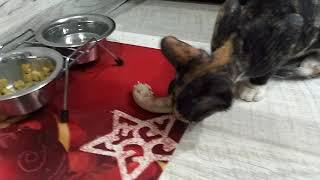 Лакомства для сфинксов Чем кормить донского сфинкса Горлышки куриные