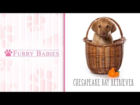 Is the Chesapeake Bay Retriever the right breed for you?