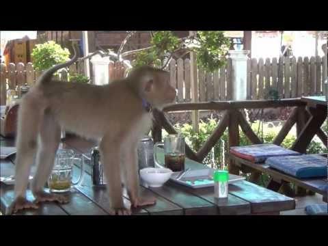 Dangerous monkey, scared dog,fight, Don Det 4000 Islands Laos.