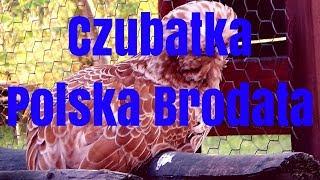 #1.Opis Rasy Drobiu Ozdobnego- Czubatka Polska Brodata