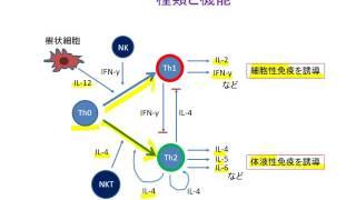 ヘルパーT細胞が分泌するサイトカイン