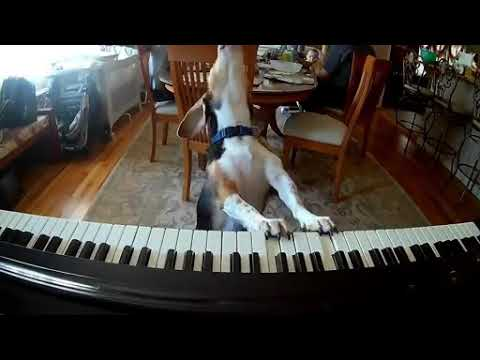 dog plays piano and sing