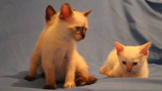 Котята сиамцы в хорошие руки в Судаке  + 79787805237