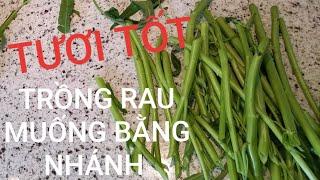 Làm vườn ở Mỹ. Chia sẻ trồng Rau Muống bằng Nhánh, thăm cây Rau Ngót, Rau Lang, Lá Gai.
