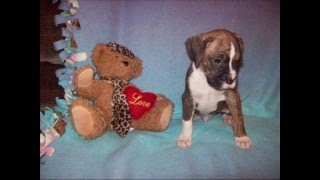 Akc Boxer Puppies For Sale In Pa