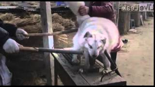 Cruelty in chinese fur farms