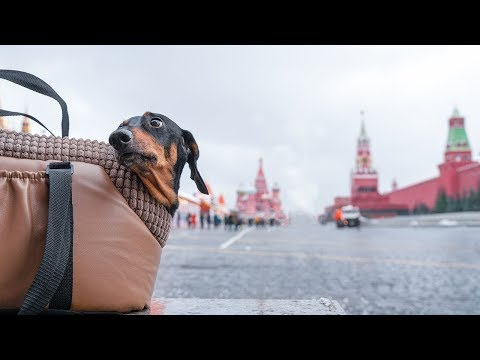 Moscow Calling! Doxie Din - Dachshund Dog On Travel!