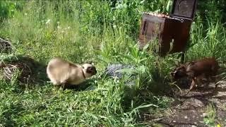 Доверили КОТУ ШАШЛЫК охранять /Cat and barbecue/猫和烧烤