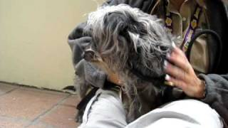 Mozart (a262914) Wire Haired Dachshund Rescue Only At Pasadena Humane