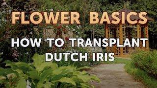 How to Transplant Dutch Iris
