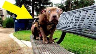 Frau findet ausgesetzten Pitbull auf einer Parkbank – Als sie genauer hinsieht stockt ihr der Atem!