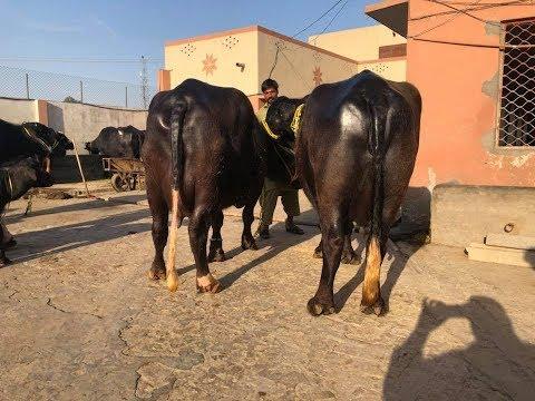 World Top Class Asif Nawaz Nili Ravi Buffaloes