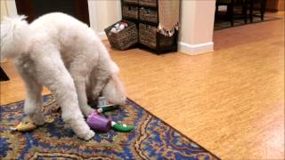 Poodle Dog With A Funny Problem.