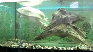 Черепаха носатая в минском зоопарке.(, 2014-07-23T16:20:25.000Z)