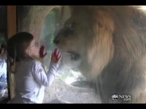 Little Girl Faces Lion at Zoo