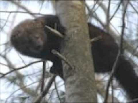 Fisher Cat in North Hero