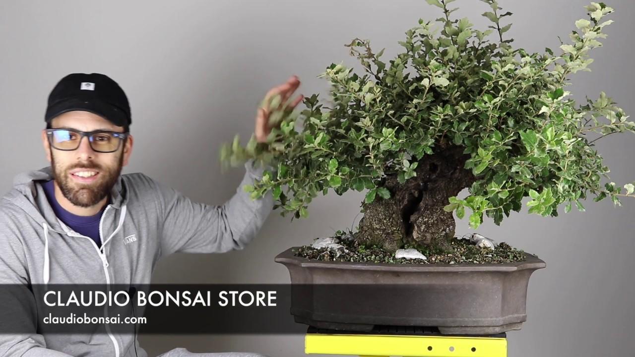 Creare un bonsai di acero - Fare Bonsai - Creare un bonsai ...