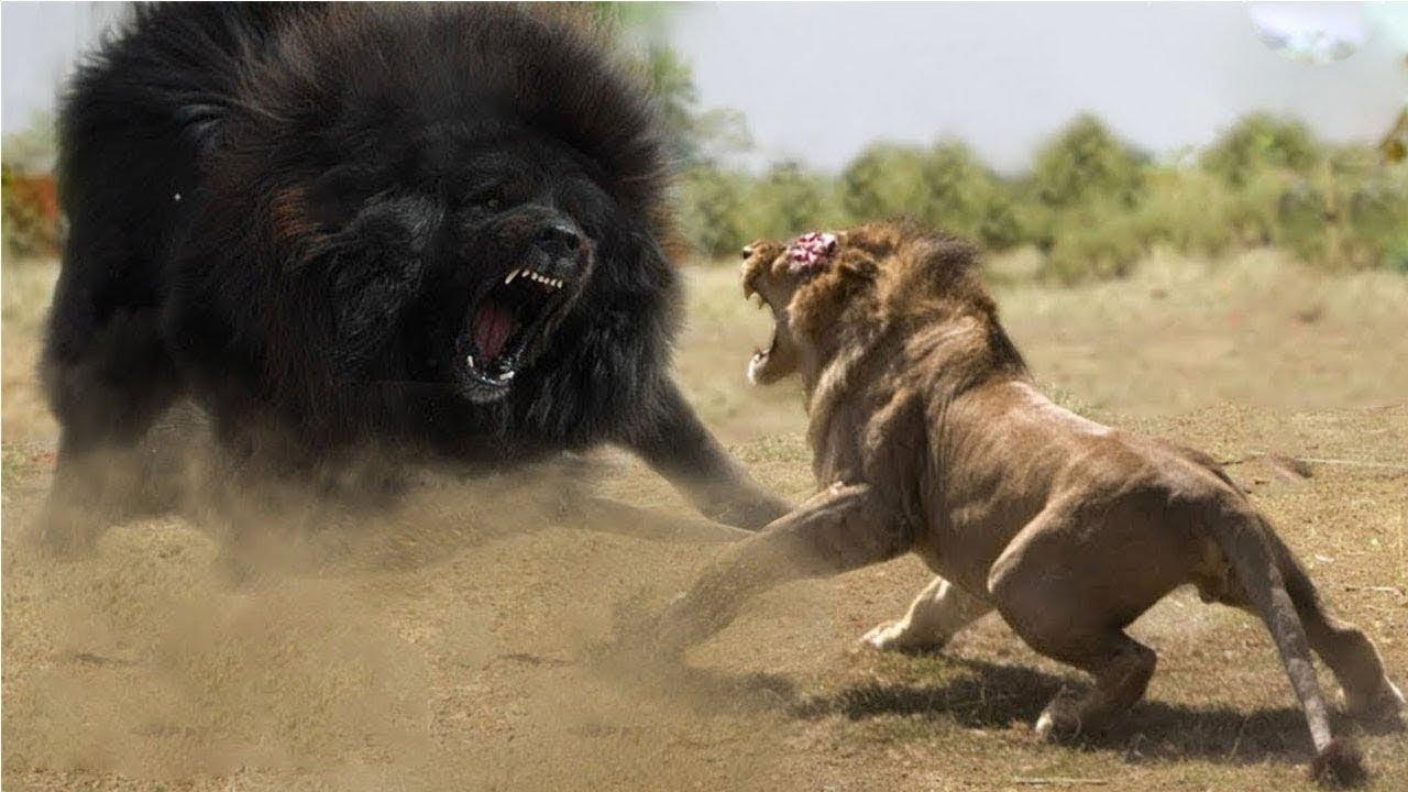 Tiger's Tremendous Power Deserves King of Jungle - Tiger vs Crocodile, Lion, Python, Bear, Buffalo