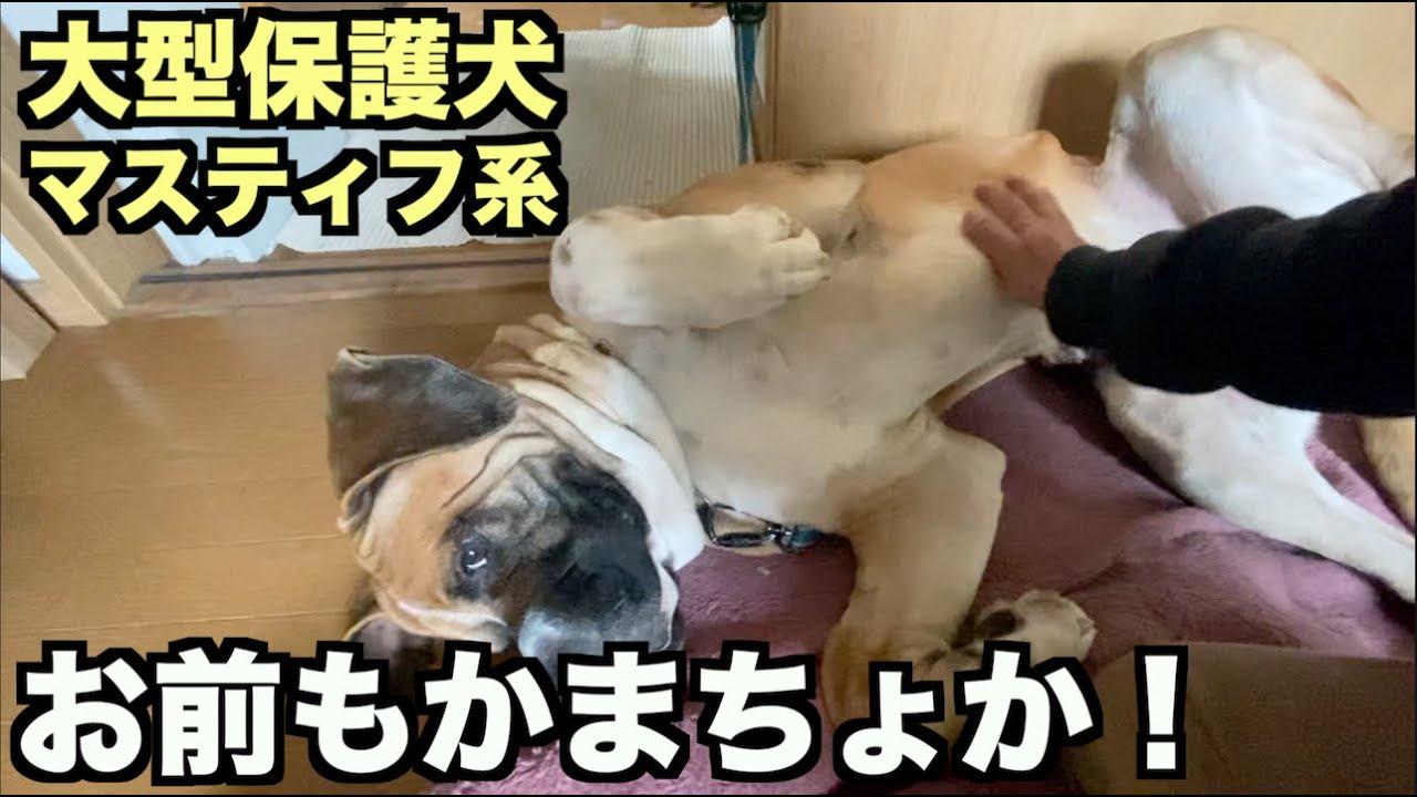 大型マスティフ系保護犬・ロイ!お前もか!【6日目】