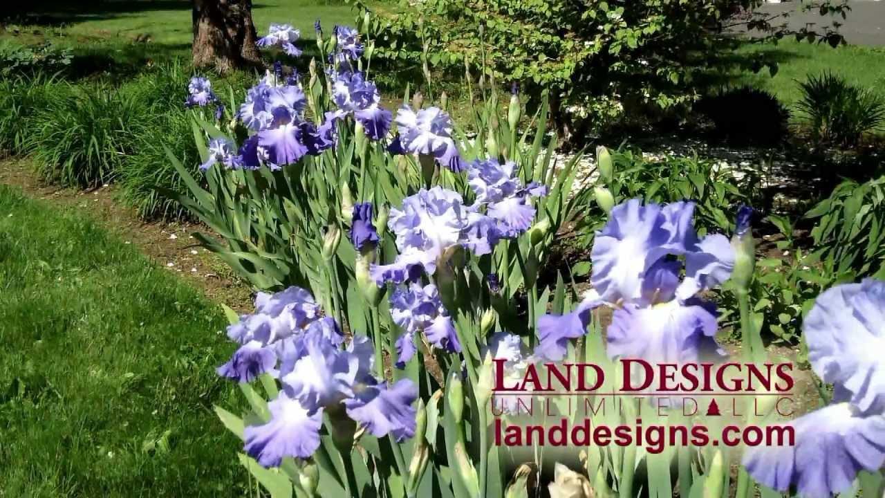 German Or Bearded Iris X