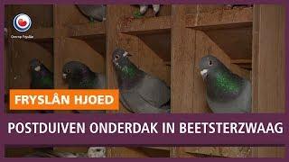 REPO: Verwaarloosde Gelderse postduiven vinden onderdak in Beetsterzwaag