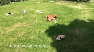 Little Rascals Uk Breeders New Litter Of Golden Cocker Spaniels