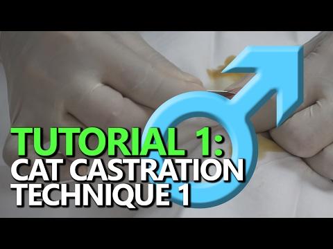 TUTORIAL 1: Male Cat Castration ; Non-ligature technique using square knots