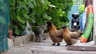 MOROSETA E IL GATTO - SILKIE CHICKEN AND THE CAT