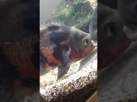 How Do Oscar Fishes Lay Their  Eggs