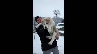 Алабай. Щенки Алабая, (САО), туркменский волкодав, щенкам 3 месеца.