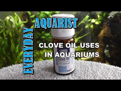 How To Anaesthetize And Euthanize Fish Humanely With Clove Oil